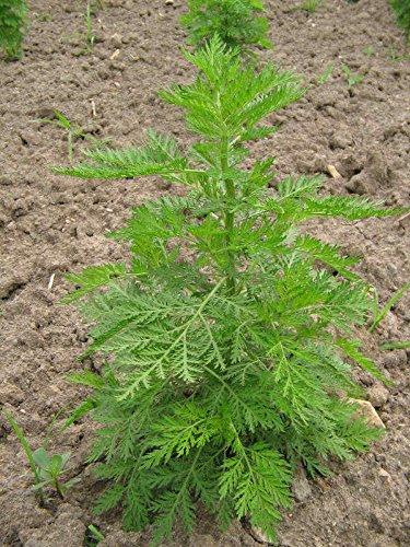 Portal Cool 100 Semi Semi Di Artemisia annua *** assenzio dolce *** Qing-Hao