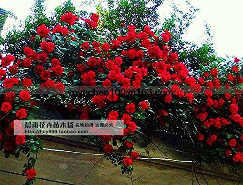 Esplosione rosa rampicante arrampicata palestra di roccia di 100 semi di fiori