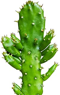 Opuntia Monacantha Barbary Fig Prickly Pear Cactus (2'' or 4''