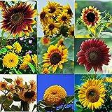 8. QEBIDVL 1000pcs Mixed Sunflower Seeds for Garden Planting- 10 Varieties of Sunflower Seeds