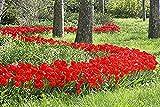 100 Parade Tulip Bulbs - Tulipa Darwin Hybrid- Landscapers Bargain Bag!! Great for Fall Planting!