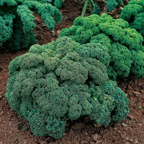 Seekay Berza ( Kale ) Enano Verde Rizado - Aprox 3,000 Semillas - Verduras
