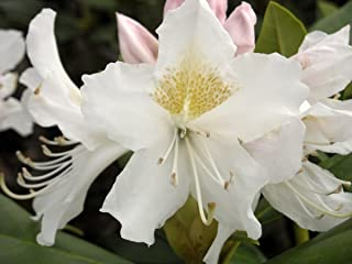 Rhododendron Cunningham's White - Mature Plant - 24