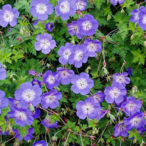 6 x Geranium 'Rozanne' - Garten-Storchschnabel Rozanne Kleincontainer 9cm x 9cm