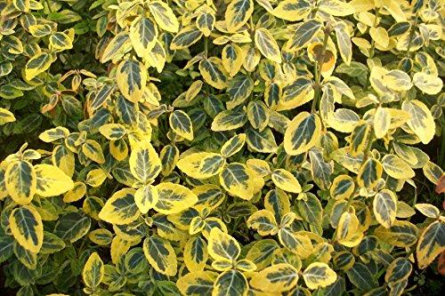 10 Stk. Euonymus fortunei 'Emerald Gaiety' - (Weißbunte Kriechspindel 'Emerald Gaiety')- Topfware 15-20 cm