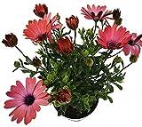 Kapkörbchen (Osteospermum) 'Rose Magic' 3 Pflanzen