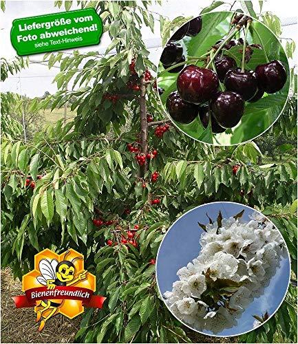 BALDUR-Garten Selbstfruchtende Süßkirsche Swing, 1 Pflanze Kirschbaum winterhart