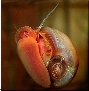 trumpet snails in fish tank