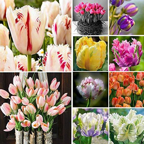 Tulip Seed: 100Pcs Rare Rainbow Tulip Flower Bulbs Seeds Perennials Plant Decoration Supreme