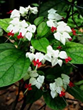 25 Rare White Red Bleeding Heart Seeds DicentraSpectabilis Shade Flower Garden