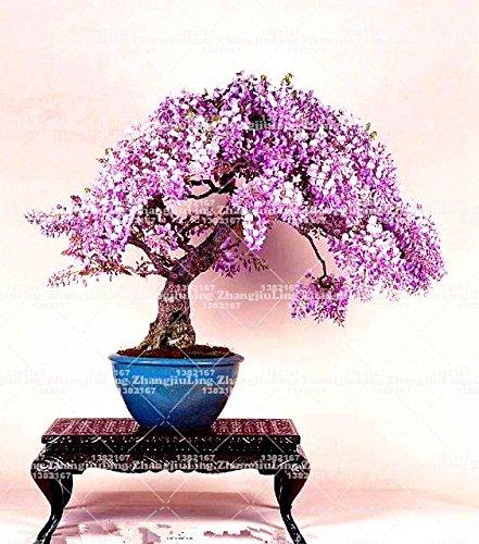 10pcs Wisteria rosado siembra semillas raras raras bonsai del árbol de glicina semillas de plantas de flores ornamentales de interior para el jardín de 1