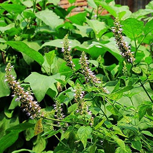 10 Stück Pogostemon Cablin Seeds Mehrzweckgrün voller Vitalität Patchouli Kräutersamen für Balkon - Samen