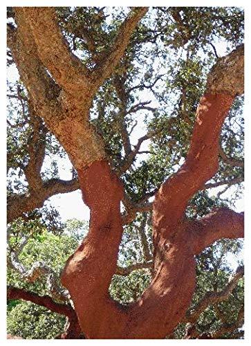 Tropica - Iberische Korkeiche (Quercus suber) - 3 Samen