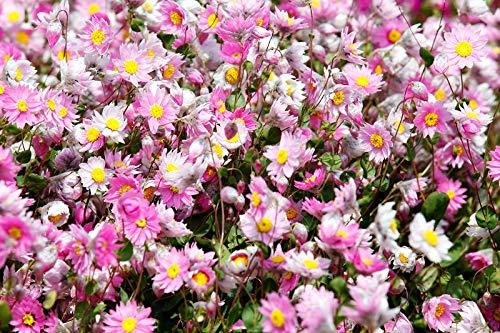 Rosa Sonnenstrahl; silberne Glocken, australische Strohblume, zeitlose Rose, ewi