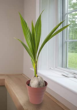 "American Plant Exchange Coconut Palm Tree Exotic Indoor/Outdoor Tropical Specimen Live Plant, 6"" Pot, Cocos Nucifera"