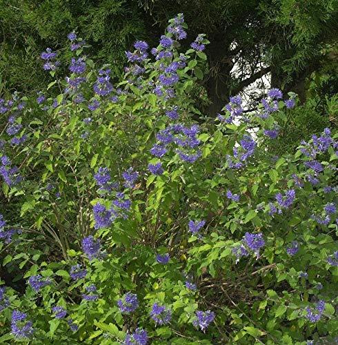 Bartblume Blauer Spatz® 30-40cm -...
