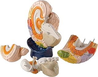 Denoyer Geppert 0171-00 Giant Functional Center Brain Model, 8