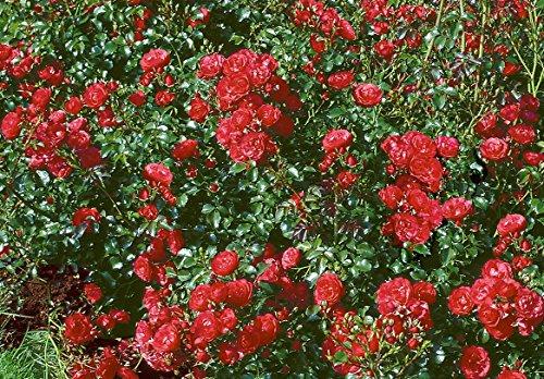 'Gärtnerfreude' -R-, Kleinstrauchrose, ADR-Rose, im 4 Liter Container