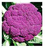 Semi Cavolfiore Violetto di Sicilia Medio Precoce - Brassica Oleracea - Semi agricoli - Cavolfiori - Cf003-4400 Sementi Circa