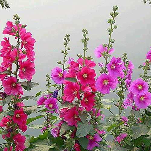 Shopvise couleur aléatoire Rose trémière Althaea Graines 100Pcs