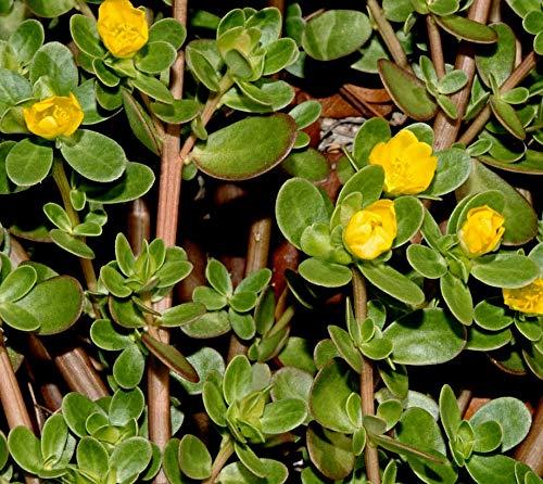 10.000 Portulak Samen, Portulaca oleracea, Sommerportulak, Wildgemüse und Heilpflanze