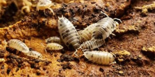 Live Insects Dairy Cow Isopods for Sale Cleanup Crew for Terrarium Reptile Bedding and Snake Bedding Porcellio laevis