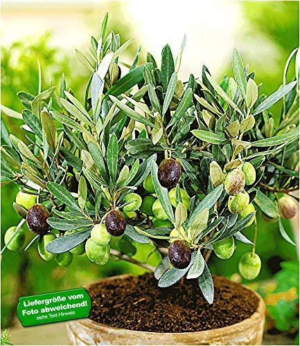 BALDUR Garten Olive,1 Pflanze Olea...