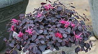 Jazz Hands Mini Chinese Fringe Flower 4 Inch Pot Loropetalum Proven Winners AG002
