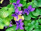 Aimado Seeds Garden-100 Pcs Violettes odorantes BIO graines,Une plante vivace très jolie et comestible,idéales pour Jardin, Terrasse et Balcon