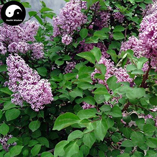 Elitely Frhe Flieder Baum Semente 30 Stcke Samen E Syringa Oblata Baum Zi Ding Xiang