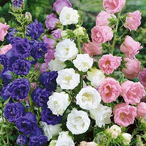 prime vista Bonsai 100 teile/beutel Seltene Gemischte Campanula Bonsai Campanula Chile Rosea Blumentöpfe Glockenblume Immergrüne Pflanze Für Hausgarten: 11