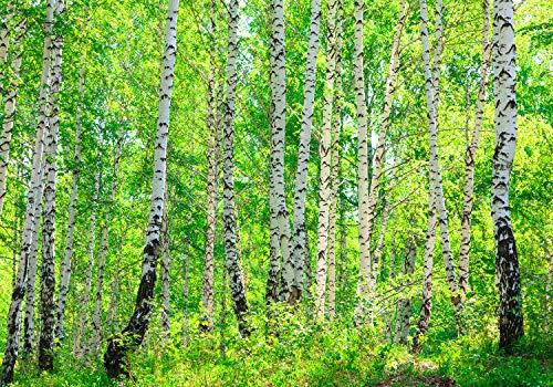 wandmotiv24 Fototapete Wald mit Birken, L 300 x 210 cm - 6 Teile, Fototapeten, Wandbild, Motivtapeten, Vlies-Tapeten, Natur, Bäume, Birke M0363