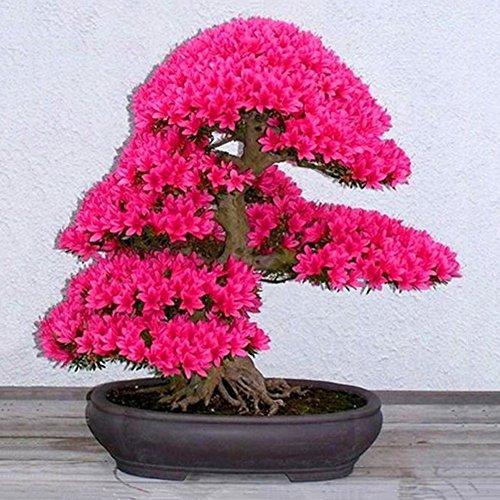 Sakura-Samen – Gartensamen, Bonsai-Pflanze, Dekoration für Zuhause, Büro, 10 Stück