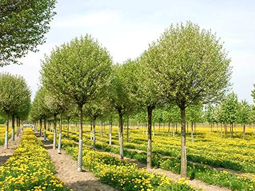 Steppenkirsche 'Globosa' - Farbenreiche Zierkirsche - Prunus fruticosa Globosa - Hochstamm - Containerware - Stammumfang 12-14 cm - Garten von Ehren®