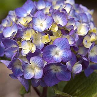 2 Gallon - Endless Summer BloomStruck Hydrangea - Multiseason Blooming - Mophead Blooms that range from Pink to Blue to Purple depending on pH