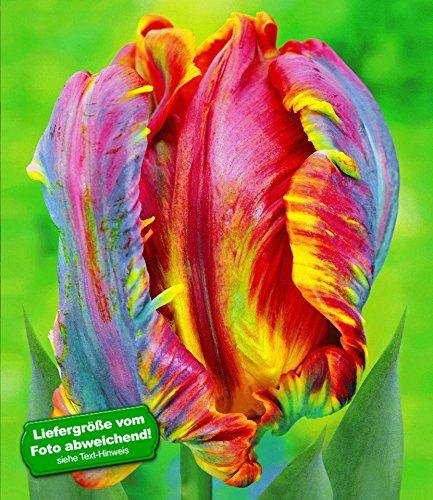 BALDUR-Garten Regenbogen-Tulpe Blumex 50 Zwiebeln Tulipa