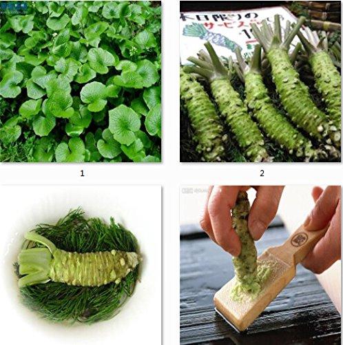 100pcs / lot Wasabi Graines, raifort semences japonaise Semences potagères Plantes Bonsai bricolage jardin des plantes
