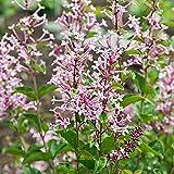 Syringa'Bloomerang Pink Perfume' | Zwergflieder | Rosa Blüte | Blühende Sträucher Winterhart | Höhe 15-30 cm | Topf Ø 13 cm