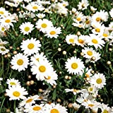 Semillas de margarita de ojo de buey - Chrysanthemum leucanthemum -
