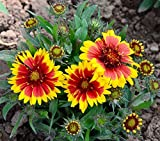 Charm4you Perennes Plantas Semillas,Tianshu Garden, Semilla de Planta Floral Hugget-Orange_200pcs,Jardín Ornamental balcón