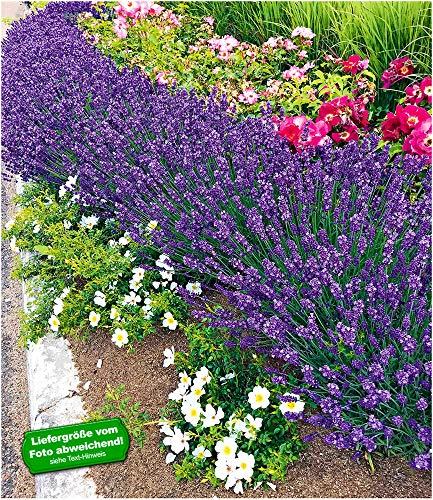 BALDUR-Garten Winterhart Lavendel Blue Jeans, 3 Pflanzen duftend Gartenstaude Lavendula