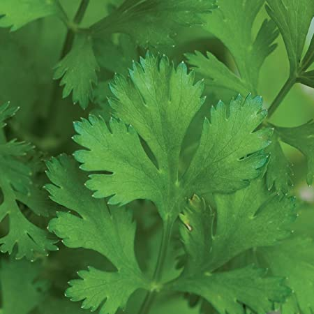 Gigante di Napoli Herb  500 Parsley Seeds 2019 Seeds       $1.69 Combined S//H