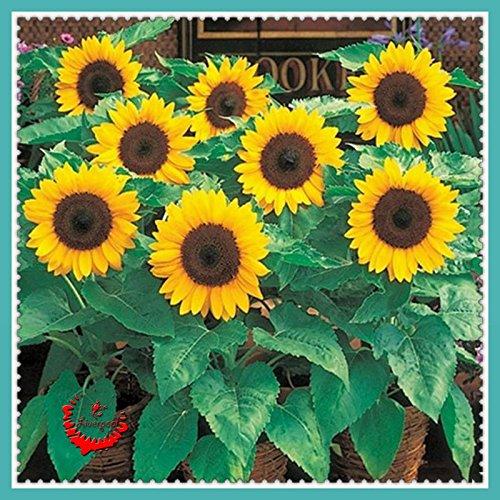20 nains de tournesol Graines de fleurs Facile croissance et beau jardin plantes Faire Happier Aménagement paysager