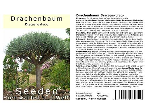 Seedeo® Drachenbaum (Dracaena Draco) 6 Samen