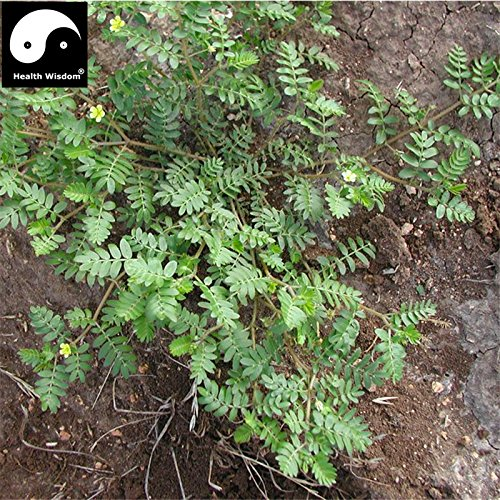 Tribulus terrestris Graines de plantes Bonsai SEMENTES Outdoor Garden Herbes Plantes