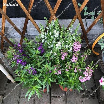 Happy Farm gypsophile Etoiles Sky Seed Hybrids Flower Seed jardin décoratif Aménagement paysager, Plante vivace Fleur 150 Pcs 8