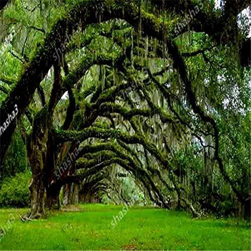 Gaint Quercia Albero Bonsai Bella Larg Quercia Rossa Americana perenni legnose Le Piante per Il Giardino Domestico di Bonsai Piante Facili Grow: 2