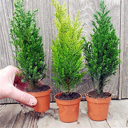 FATO. Egrow 50 PCS Italian Cypress Tree Seeds Mittelmeer-Zypresse-Hausgarten Bonsai Pflanzsamen