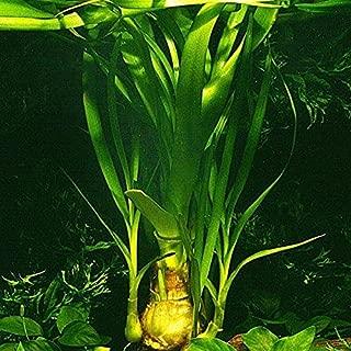 Crinum thaianum/Water Onion - Live Aquarium Plant