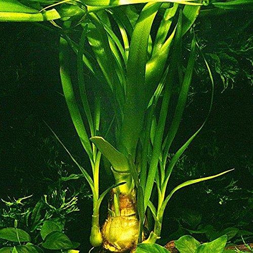 Thailändische Hakenlilie - Wasserlilie / Crinum thaianum